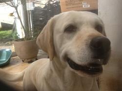 Dakota, chien Labrador Retriever
