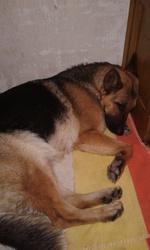 Dakota, chien Berger allemand