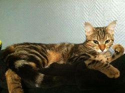 Dakota, chat Européen