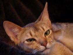 Dakota, chat Abyssin