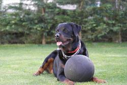 Dakota, chien Rottweiler