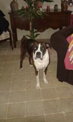 Dakota, chien Boxer