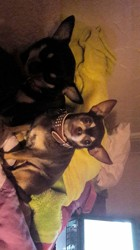 Dakota, chien Chihuahua