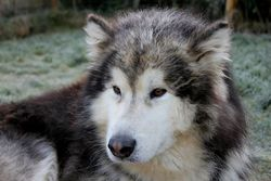 Dakshi, chien Malamute de l'Alaska