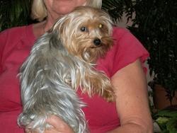Dalhia, chien Yorkshire Terrier