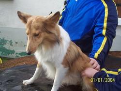 Dali, chien Berger des Shetland