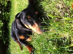 Dali, chien Teckel