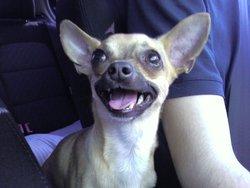 Dali, chien Chihuahua