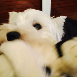 Dali, chien West Highland White Terrier