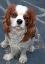 Dali , chien Cavalier King Charles Spaniel