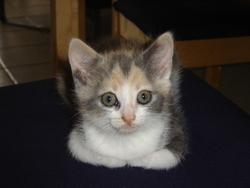Dalia, chat Européen
