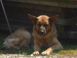 Dalia, chien Berger allemand