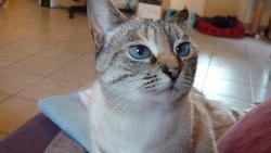 Dalida, chat Européen