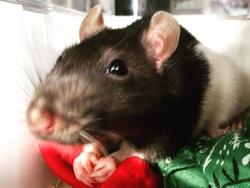 Dalida, rongeur Rat