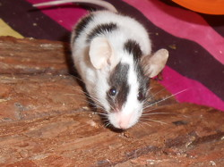Dalila, rongeur Souris