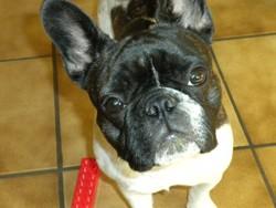 Dalka, chien Bouledogue français