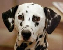 Dalma, chien Dalmatien