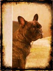 Dalton, chien Bouledogue français