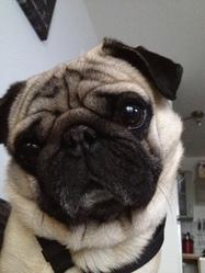Dalton, chien Carlin