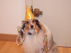 Dalton, chien Berger des Shetland