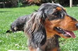Dalton, chien Teckel