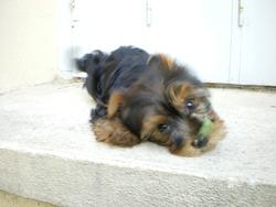 Dalton, chien Yorkshire Terrier