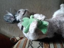 Dalton, chien Shih Tzu