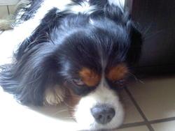 Dalton Du Cap Fleuri, chien Cavalier King Charles Spaniel