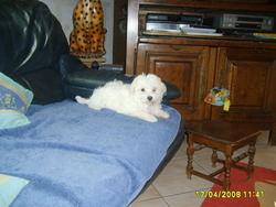Daly, chien Bichon maltais