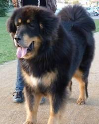Damais, chien Dogue du Tibet