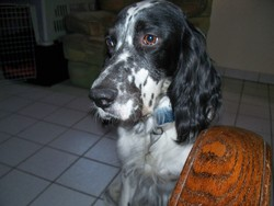 Damgan, chien Setter anglais