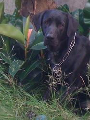 Damir, chien Braque de Weimar