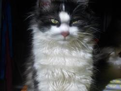 Damon, chat Angora turc