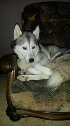 Damon, chien Husky sibérien