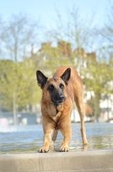 Damon, chien Berger belge
