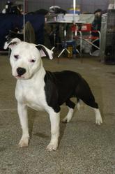 Damsteleasy Story G'Zaya, chien American Staffordshire Terrier