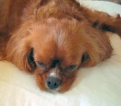Dana, chien Cavalier King Charles Spaniel