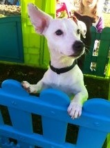 Dana, chien Jack Russell Terrier