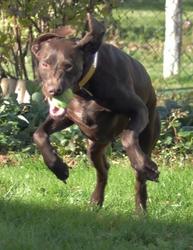 Dana, chien Braque allemand à poil court