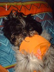 Danae, chien Shih Tzu