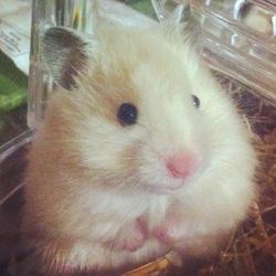 Danaé, rongeur Hamster