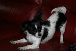 Danaelle, chien Chihuahua