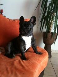 Danao, chien Bouledogue français