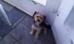 Dandie, chien