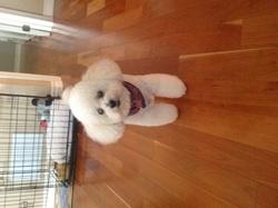 Dandie, chien Caniche