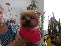 Dandy, chien Yorkshire Terrier