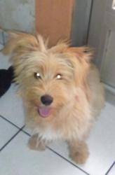 Danette, chien Berger des Pyrénées