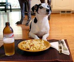 Dang, chien Jack Russell Terrier