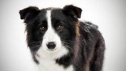 Dango Au Paradis, chien Border Collie