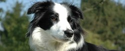 Dango, chien Border Collie